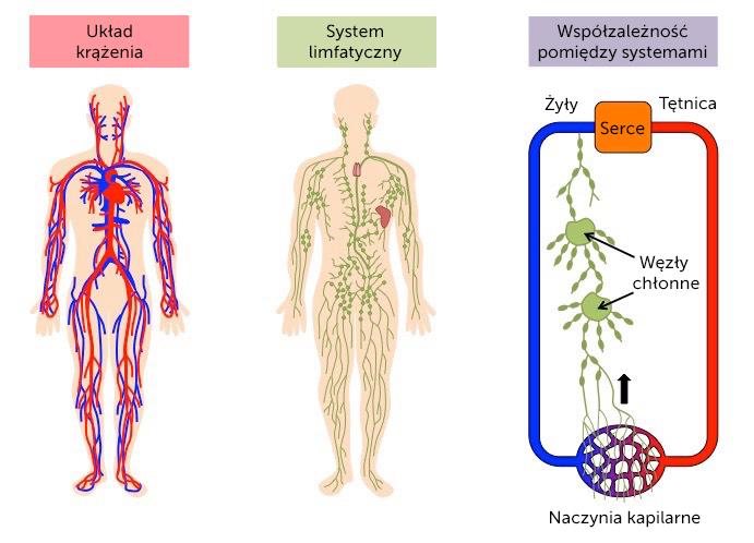 Układ limfatyczny i krwionośny