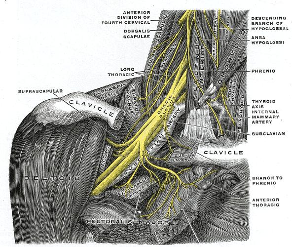 Splot ramienny (barkowy)