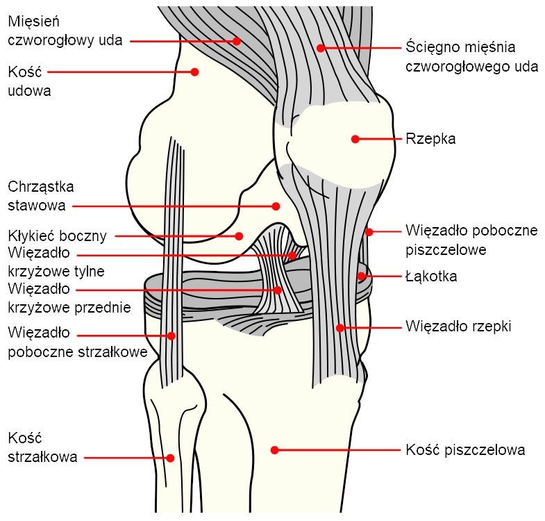 Staw kolanowy - budowa